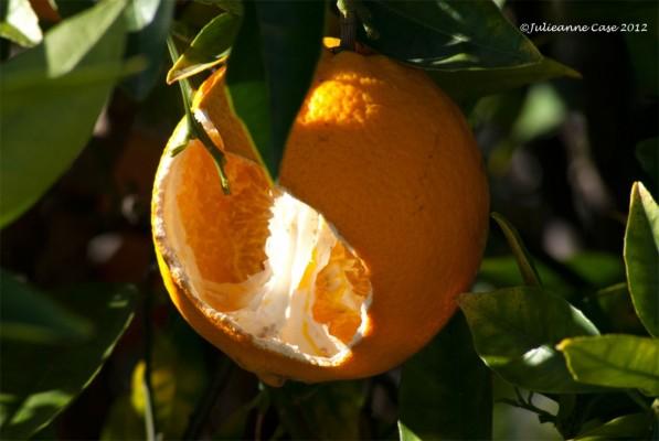 Top of the Tree orange!